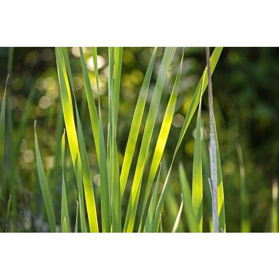 Koroseal Grasses 13 Grasses 13 Original Image 9356